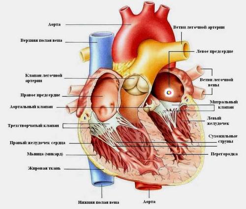 Эхокардиография, УЗИ, ЭхоКГ сердца: показания к проведению и подготовка
